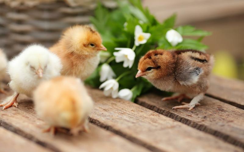 إنعاش حياة جنين دجاجة داخل بيضة مفتوحة