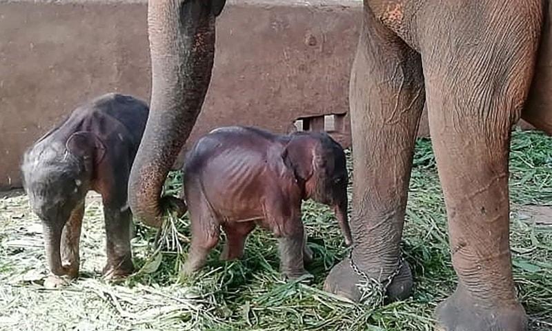 ولادة فيلين توأمين